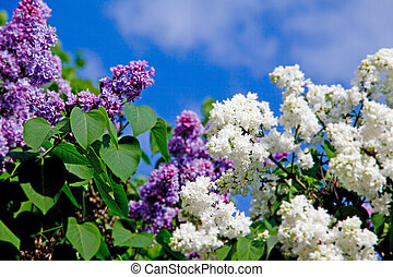 lilac - Blooming lilacs  against the sky.