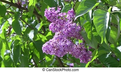 Blooming lilacs in the Botanical garden