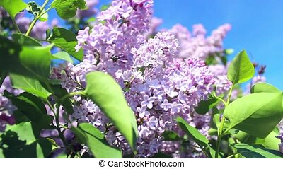 blooming lilacs in the Park
