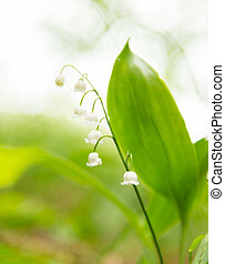 Blooming lilies of the valley