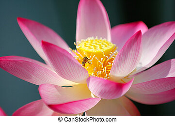 A blooming lotus flower and a bee