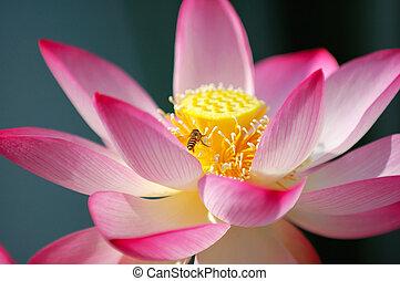 Blooming lotus flower and a bee - A blooming lotus flower ...