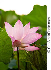 blooming lotus flower at vertical composition
