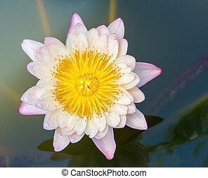 Blooming lotus flower - Close up light orange color blooming...