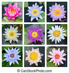 Blooming lotus flower - set 4