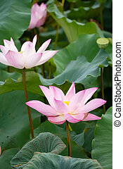 blooming lotus flowers vertical composition