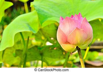 Blooming lotus in morning light.