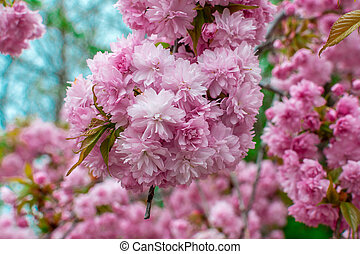 Blooming Louisiana, three-lobed almonds, soft pink lush flowers on a branch of a bush.