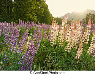 Blooming lupin flower