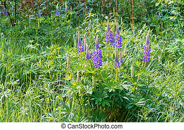 blooming lupine, field lilac flowers, blue lupine flower