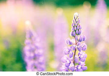 Blooming lupins flowers with copy space