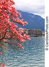 blooming magnolia branch, Lake Geneva, Switzerland. - A...