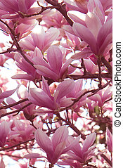 Blooming magnolia branches