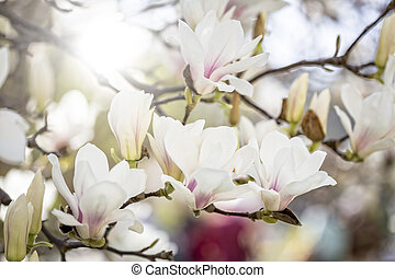Blooming magnolia in spring