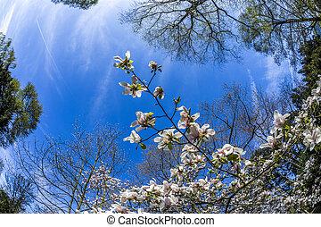 magnolia trees under blue sky