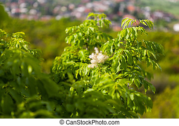 Blooming Manna Ashes - Fraxinus ornus branch with green...