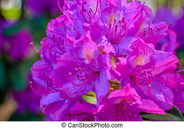 Blooming meadow with pink flowers of rhododendron bushes