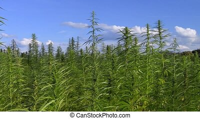 Blooming medical cannabis field with sky and clouds. Summer...