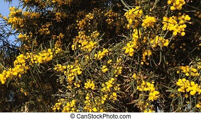 Blooming mimosa's tree in sunlight, symbol of the early...