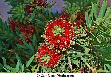 blooming miniature red bottlebrush - Red blooming miniature ...