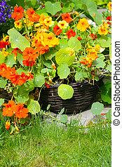 Blooming nasturtium in the garden close up
