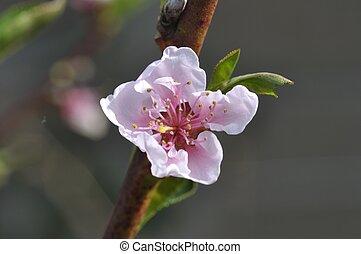 blooming nectarine in a garden