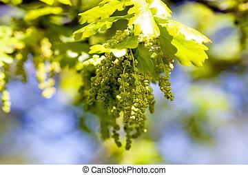 blooming oak . spring