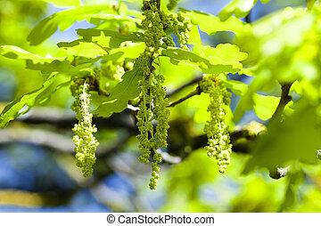 blooming oak , spring