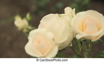 Blooming of pale cream beautiful roses in the garden -...