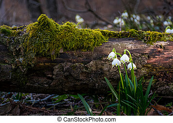Blooming of White spring Snowflake in forest - Blooming of...
