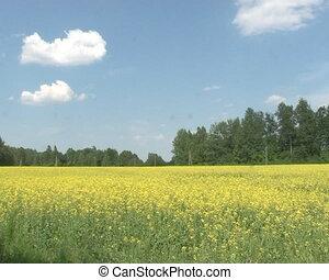 blooming oilseed plant - Blooming yellow oilseed rape field...