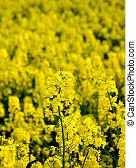 Blooming oilseed rape in the field
