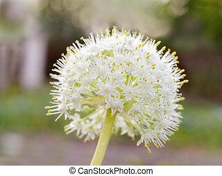 Blooming onion flower in the garden