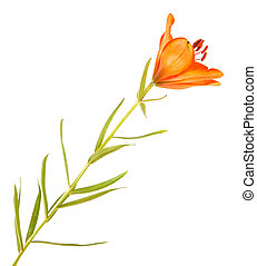 Blooming orange bud of the daylily. Isolated on white
