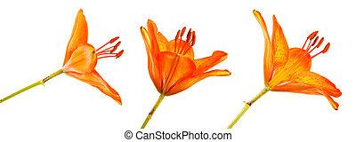 Blooming orange bud of the daylily. Isolated on white. Set