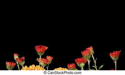 Blooming orange chrysanthemum flower buds ALPHA matte, Full...
