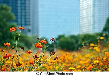 Blooming orange cosmos flowers
