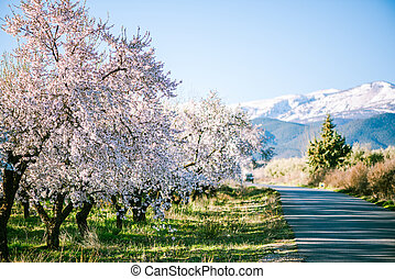 Blooming orchard trees with snow in background