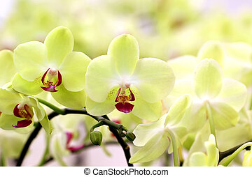 Blooming orchid in the garden