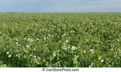 Blooming pea plant field - Blossoming pea plant in field, 4k...