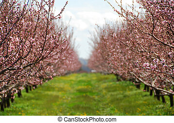 Blooming peach orchard in spring