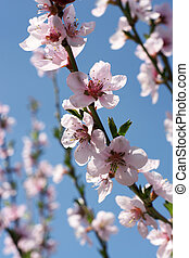 Blooming peach-tree