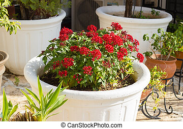 Blooming Pentas flowers in white plant pot
