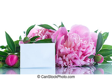 blooming peony - beautiful pink peonies on a white...