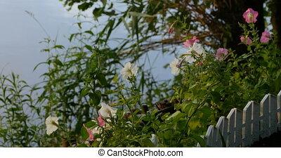 blooming petunia in the front garden