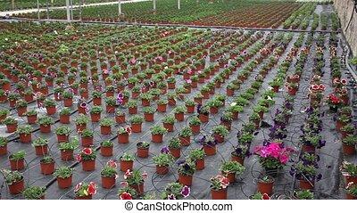 Blooming petunia seedlings in small pots growing in ...