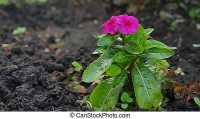 Blooming Phlox paniculata, Polemoniaceae nature