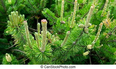 Blooming pine tree. Natural background with green coniferous tree.