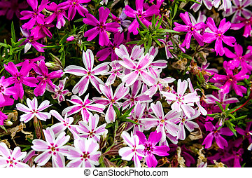 Blooming Pink and White Phlox Flowers - Blooming of pink and...