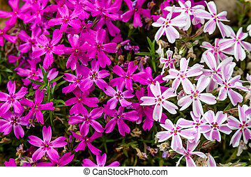 Blooming Pink and White Phlox Flowers - Blossoms of pink and...